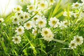 Closeup of daisies in field — Stock Photo