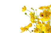 Yellow buttercups with ladybug on white — Stock Photo