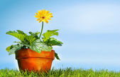 Flower pot on the grass — Stock Photo