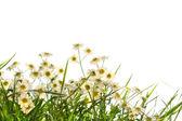 Little wild daisies — Stock Photo