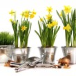 Pots of daffodils with garden tools on white - Stok fotoğraf