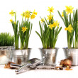 Pots of daffodils with garden tools on white - Stock Photo