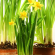 Three pots of daffodils on white — Stock Photo