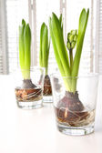Spring hyacinth bulbs in glass containers — Photo