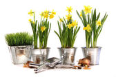 Pots of daffodils with garden tools on white — Stockfoto