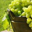 Green grapes in the sun - Stock Photo