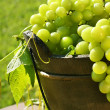 Green grapes in the sun - Foto Stock