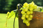 Grapes in wine bucket — Stock Photo