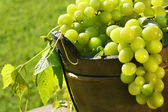 Green grapes in the sun — Stock Photo