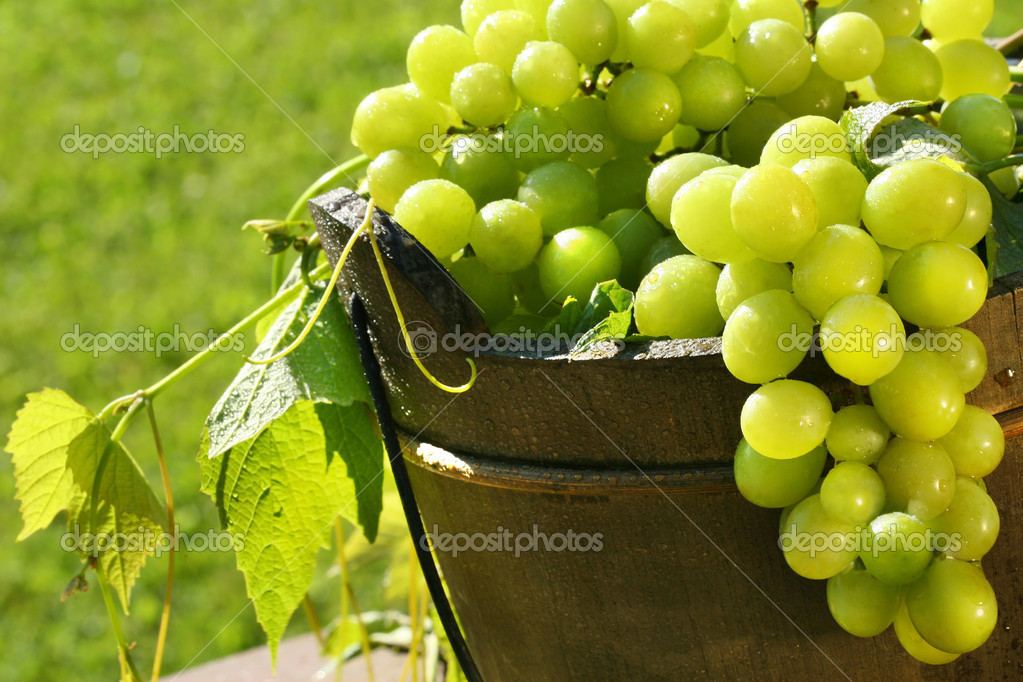 Green grapes in the summer sun  Stock Photo #3278016