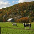 Cows grazing on pasture in early fall - Stock Photo