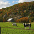 Cows grazing on pasture in early fall - Stok fotoraf