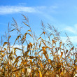 Autumn corn — Stock Photo