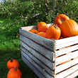 Autumn pumpkins in a apple orchard — Stock Photo