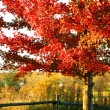 Beautiful red maple tree - Stock Photo