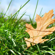 Oak leaf in the grass — Stok fotoğraf