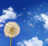 Dandelion seeds blowing in the wind — Stock Photo