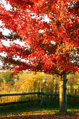 Beautiful red maple tree — Stock Photo