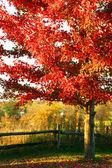 Piękny klon czerwony drzewo — Zdjęcie stockowe