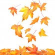 Maple leaves falling  on white background - Stock Photo