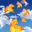 Maple leaves falling against a blue sky — Stock Photo