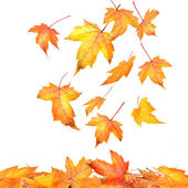 Maple leaves falling on white background — Photo