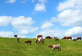 Cows grazing — Stock Photo