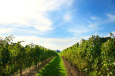 Vineyards of Niagara — Stock Photo