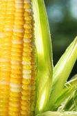 Close-up de milho uma espiga de milho — Foto Stock