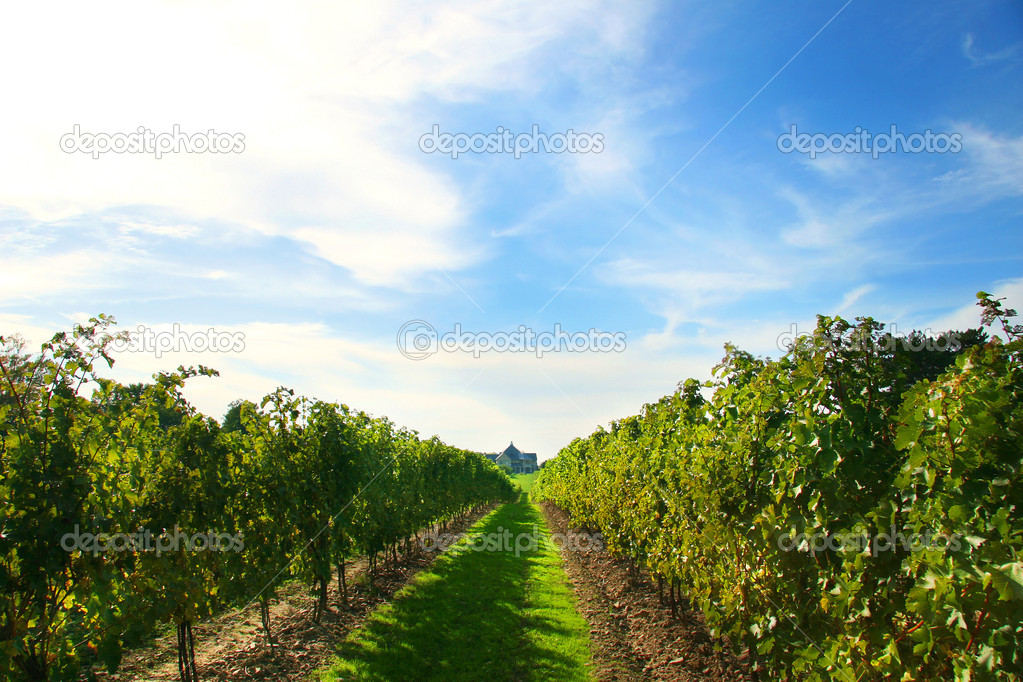 Vineyards on Niagara on the Lake — Stock Photo #3293358