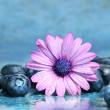 Stock Photo: Pink daisy with blueberries