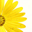 Yellow daisy on white background - Stock Photo