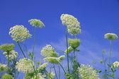 Wildblumen gegen den blauen himmel — Stockfoto