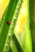 Ladybug climbing a leaf — Stock Photo