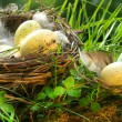 Bird's nest with eggs — Stock Photo