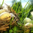 Nest in the grass with eggs — 图库照片