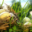 Nest in the grass with eggs — Stockfoto