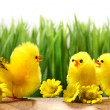 Royalty-Free Stock Photo: Yellow chicks hiding in the grass