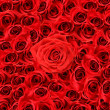 Over view of large red roses — Stockfoto