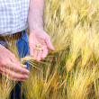 Hands with holding wheat grains — Stock Photo #3521724