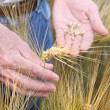 Hands holding wheat — Stock Photo