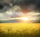 Field of wheat with ominous clouds — Stock Photo