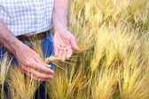 Hands with holding wheat grains — Stock Photo