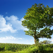 Big elm tree near corn field - Stock Photo