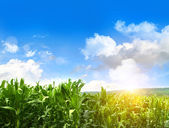 Field of young corn growing against blue sky — Stock Photo