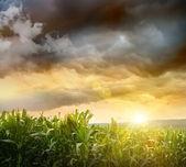 Cielo oscuro que se cierne sobre campos de maíz — Foto de Stock
