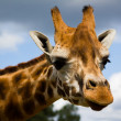Stock Photo: Giraffe Profile