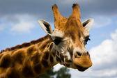 Zürafa profili — Stok fotoğraf