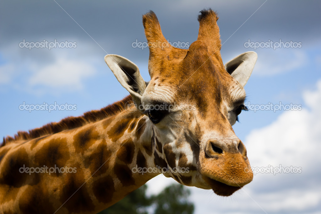 Closeup profile of a giraffe head. — Stock Photo #3453615