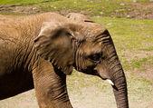 Elephant Profile — Stock Photo